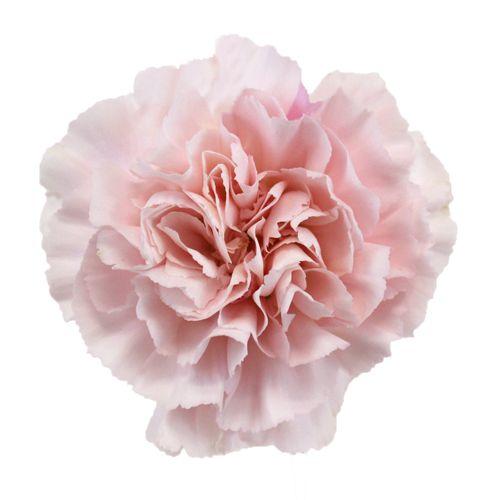 Powder Pink Carnation Flowers Fiftyflowers Com Carnation Flower Pink Carnations Carnations