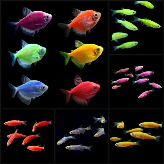 Transgenic Organism Examples Animals