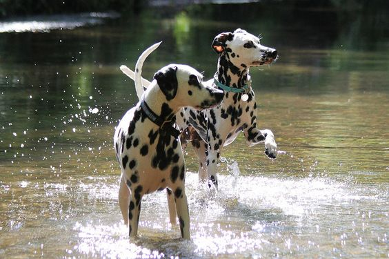 Dalmatians in the water - My first dog, Lady, a Dal, loved the water!
