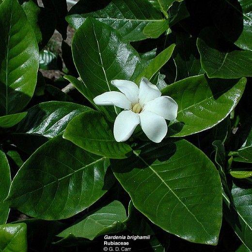 Flowers And Plants Of Hawaii Hawaiian Plants Plants Hawaiian Flowers
