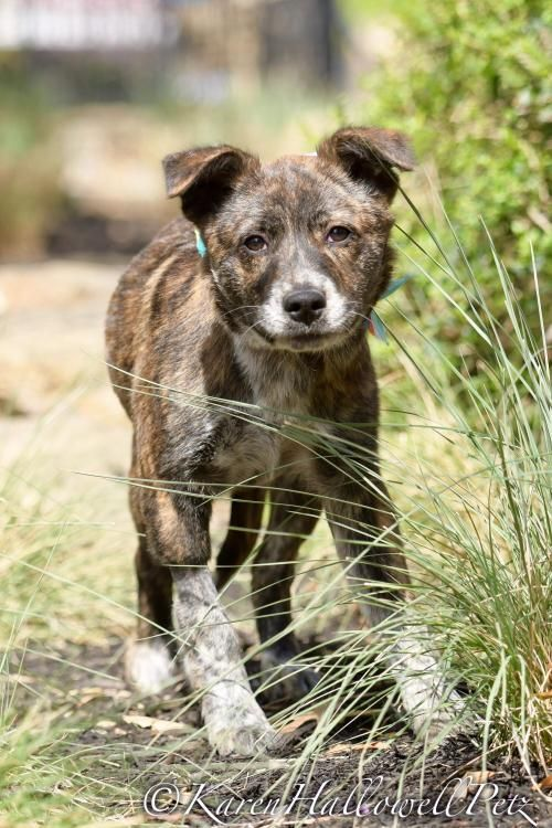 Adopt Quercus On Australian Shepherd Pet Adoption Help Homeless Pets