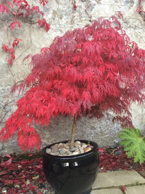 acer palmatum dissectum garnet my garden pinterest garnet and acer palmatum. Black Bedroom Furniture Sets. Home Design Ideas