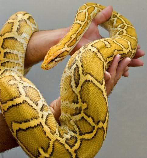 T + Albino Burmese Python