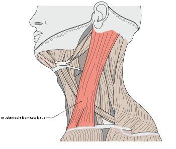 Jego nazwa wywodzi się od przyczepów - początek mięśnia tworzą dwie głowy przyczepiające się do mostka, obojczyka. Z kolei koniec mięśnia leży na powierzchni wyrostka sutkowatego kości skroniowej. Do tyłu od mięśnia