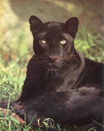 1255~Black-Panther-Sitting-Posters.jpg (358×450)