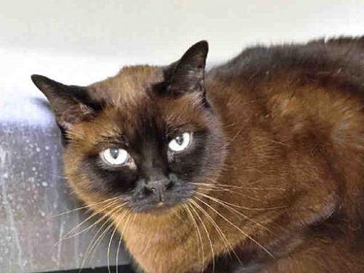 Austin Tx Tonkinese Meet Coco A Cat For Adoption Cat Adoption Pets Kitten Adoption