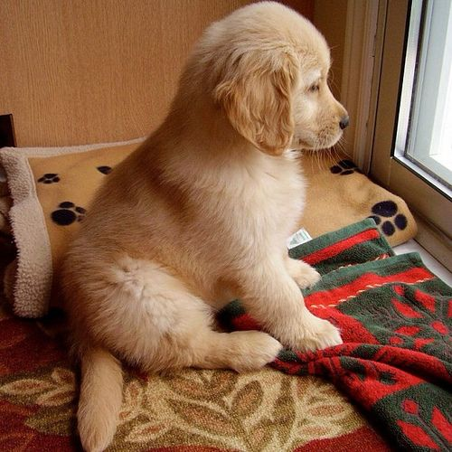 Waiting for his human to come home #Golden #Retriever #Puppy