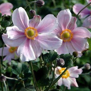 Anemone japonica Königin Charlotte / Høstanemone   Blomstrer i August - oktober.    Velegnet til afskæring    Højde: 100 cm.    Sol - halvskygge.    5-6 planter pr. m2
