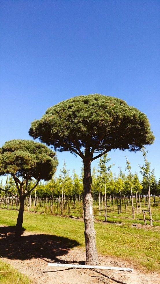 Pin Von 우인철 Auf 나무 In 2020 Pflanzen Kiefer Baum Toskana
