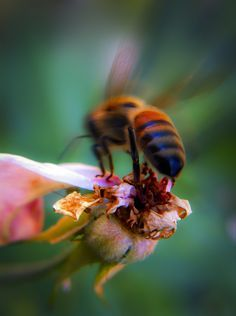Sucking nectar.