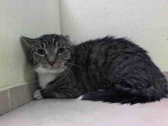 SAFE! TO BE DESTROYED 5/14/14 ** SENIOR ALERT!! Please save this poor boy- 13 yrs old Severe dental disease Healed aural hematoma AS Abdomen large and tight 4/6 heart murmur ausculted. Brooklyn Center  My name is SKIPPY. My Animal ID # is A0999249. I am a neutered male blk tabby and white domestic sh. The shelter thinks I am about 13 YEARS old.  I came in the shelter as a OWNER SUR on 05/09/2014 from NY 11234, owner surrender LLORDPRIVA.