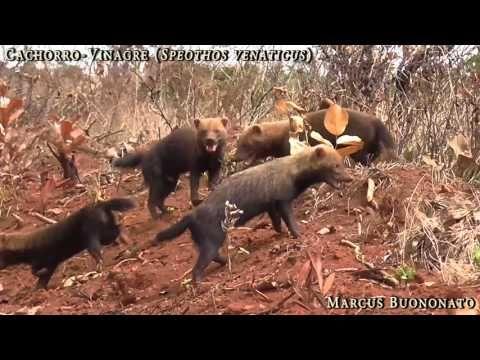 Cachorros-vinagres são filmados no Parque Nacional das Emas | ((o))eco