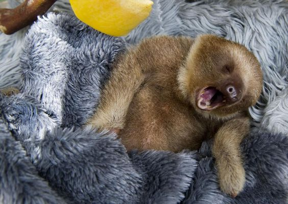 Sleepy sloth.