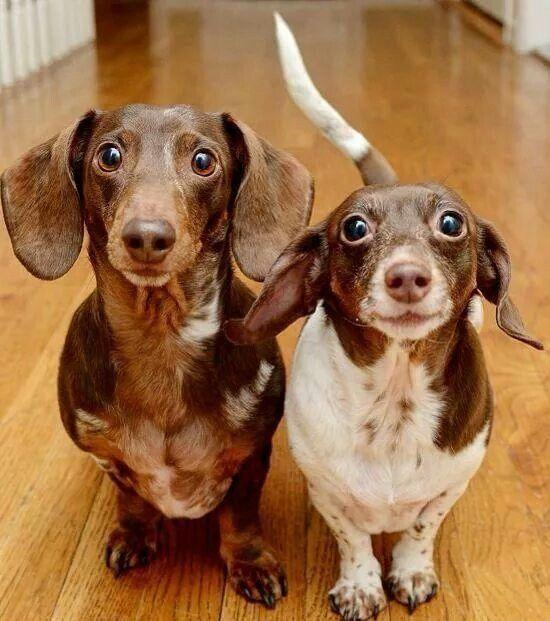 Cute Dachshunds Weenie Dogs Sausage Dog Dachshund Love