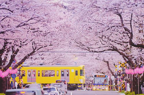 "A railway crossing famous for its cherry blossoms & traffic jam along the Nakano Dōri (street) near ""Araiyakushi-Mae Station"", Seibu Shinjuku Line at 5-43-20, Kamitakada, Nakano, Tokyo, Japan. Sad to hear that this railway is scheduled to be moved underground by 2020. Therefore the scene of a train running thru cherry blossoms in spring time cannot be seen much longer. ★さくらと渋滞の名所、東京都中野区上高田、西武新宿線・新井薬師前駅近くの中野通り踏切。悲しい事に2020年までにここ一帯の線路は地下化される予定になっている為、さくらの中を駆け抜ける電車が見られるのも後わずか。"