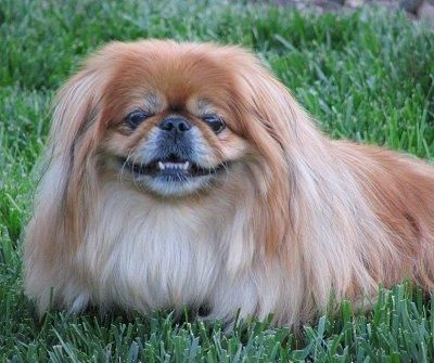 Pekingese - The doggie of choice when I was growing up.  Shout out to Mr. Chan and Ling Toi ... r.i.p. little buddies!