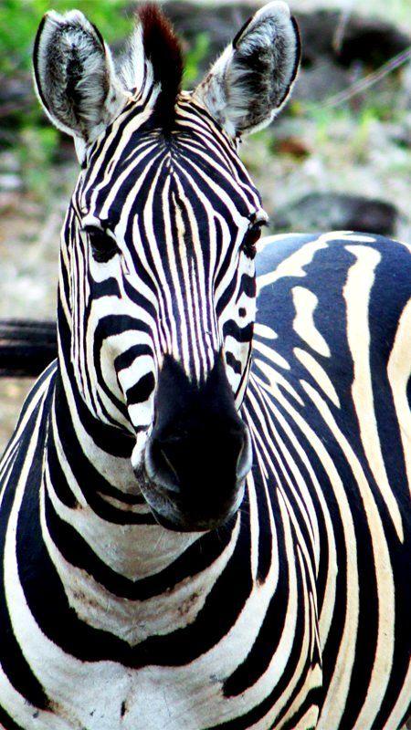 Cebra en el Parque Nacional Kruger, Sudáfrica