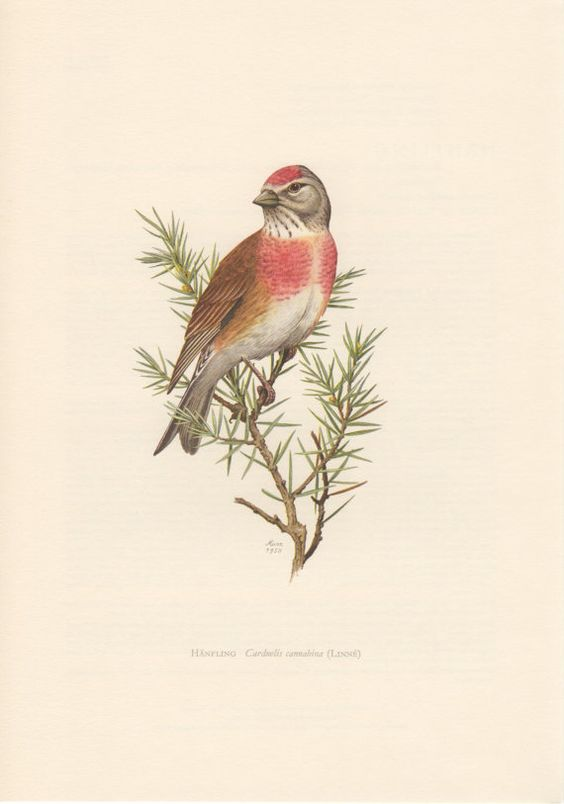 1958 Common Linnet Antique Print Vintage Lithograph by Craftissimo