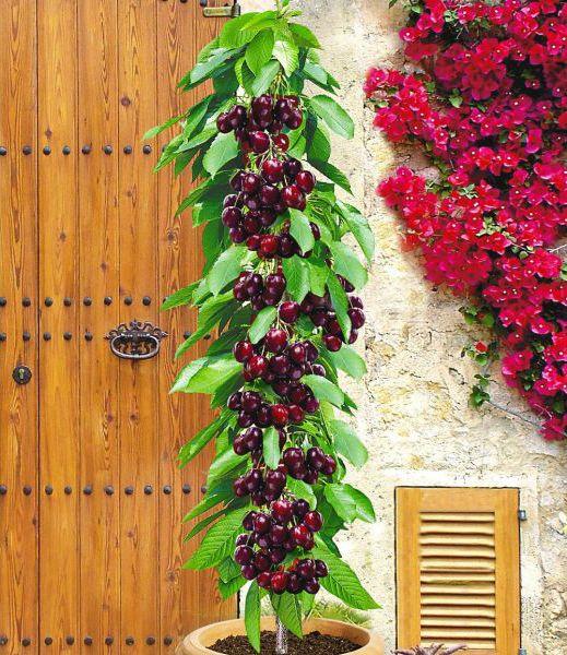Masz Maly Ogrod Odmiany Kolumnowe Sa Dla Ciebie Backyard Plants Rare Seeds Fruit Trees