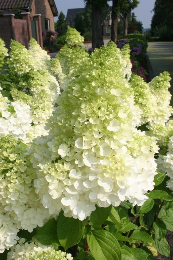Hydrangea Paniculata Magical Moonlight, love these pointy hydrangeas -best for our heat, tough and not much water says Paul Bangay