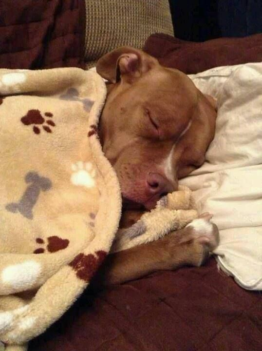 Tucked in and all snuggley. Pitties are the world's best cuddlers!