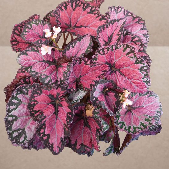 """""""Maui Mist"""" (Begonia Rex Hybrid).  Available from:  http://www.logees.com:"""