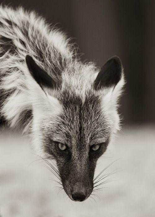 fox, amazing.