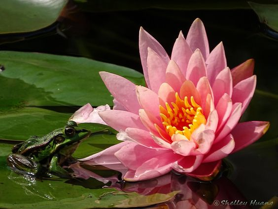 Water Lily and Frog Prince | Flickr - Photo Sharing!