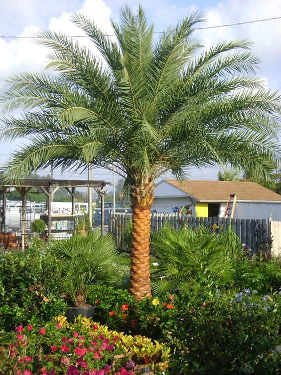 Buy sylvester palm trees for sale in orlando kissimmee for Garden design with palms