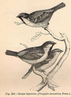 Vintage Sparrows 60