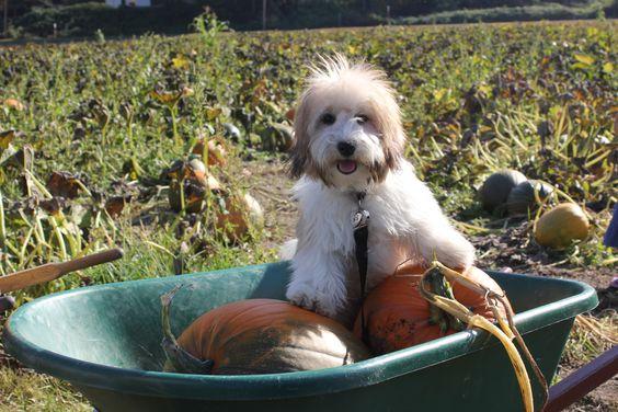 Parker pumpkin picking
