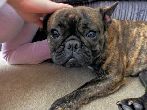 Beautiful Loving French Bulldog For Sale She Isn T Kc Reg But
