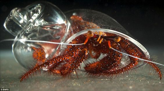 Glass of his own: Howard the hairy hermit crab shows off his custom-made shell    Read more: http://www.dailymail.co.uk/sciencetech/article-2015156/Howard-hairy-crab-shows-custom-glass-shell.html#ixzz26SQ6BRp0