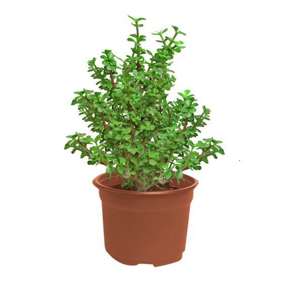 Arbol de la abundancia planta de media sombra riego 1 vez for Varias plantas en una maceta