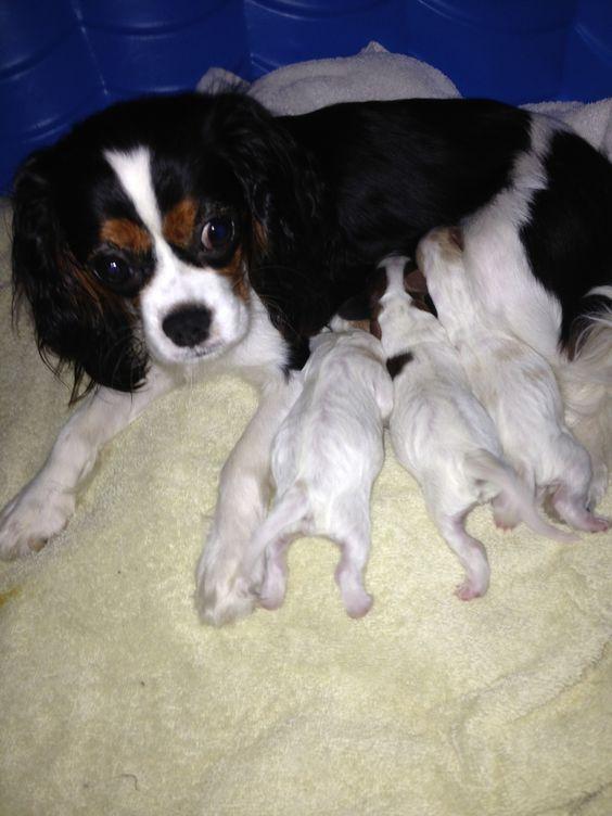Lady Jessica's precious newborn Cavachon pups born June 2013. Brady, Louie, & Zoe-