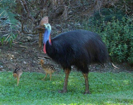 The Cassowary, from Australia