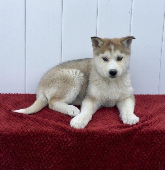 Bella Siberian Husky Puppy Puppyspot Husky Puppies For Sale Siberian Husky Husky Puppy