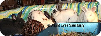 Rockville, MD - Meet TheCoffeeClatch - Bunny Rabbits for Adoption w/ Bright Eyes Sanctuary