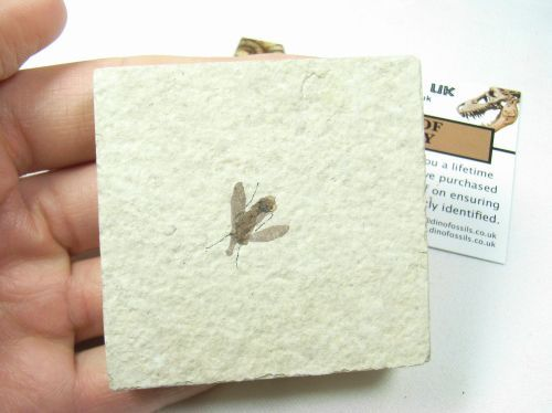 Fossil Fly #02 - Green River Formation. £12