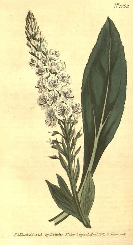 v.25-26 (1807) - Curtis's botanical magazine. - Biodiversity Heritage Library