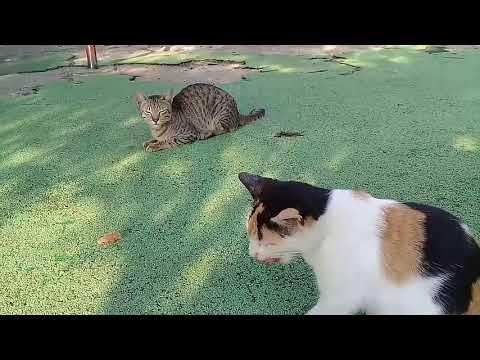 Kucing Lucu Bikin Ngakak Makan Sempol Sempolan Youtube Kucing