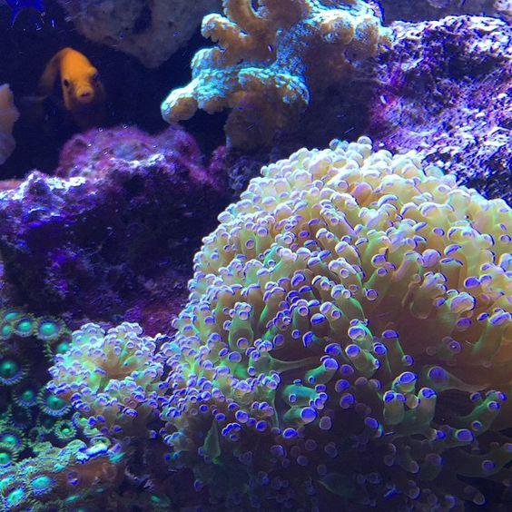 Flameback angel fish photobomb #coral #reeftank #coralreeftank #reef #reefpack #reef2reef #reefcandy #reefersdaily #reefrEVOLution #coralreef #coraladdict #reefaholiks #reefjunkie #reeflife #instareef  #allmymoneygoestocoral #instareef  #reefpackworldwide