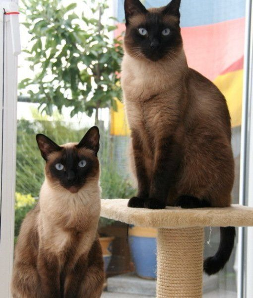 Why Do Cats Meow At Humans Siamese Cats Facts Cat Facts Siamese Cats