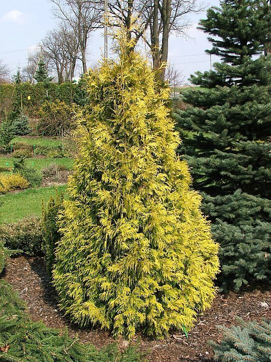 Yellow holmstrup cedar 3m high 1m wide a new bright for Soil full form