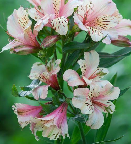 Alstroemeria Peaches And Cream In 2020 Flower Seedlings Alstroemeria Flower Spike