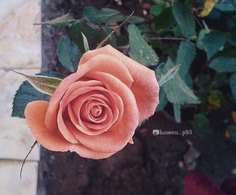 آلسعآدة ليست حلم ولآوهم ولآ بأمر محآل بل هي تفآؤل وحسن ظن وثقة بآالله وصبر بغير أستعجآل تصوير صور ورد انستا Rose Flowers Plants