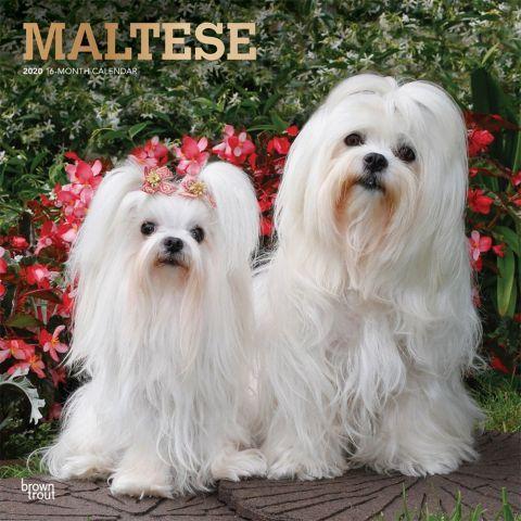 Maltese 2020 Calendars Though Its Precise Origin Is Up For Debate