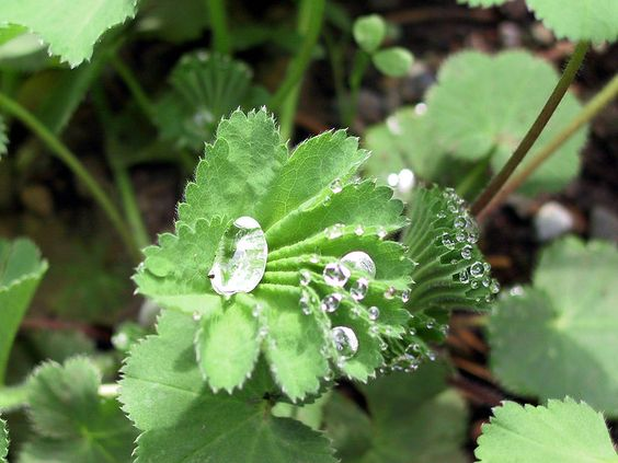 Dew collecting on a lady's mantle - it looks like a perfect jewel ...
