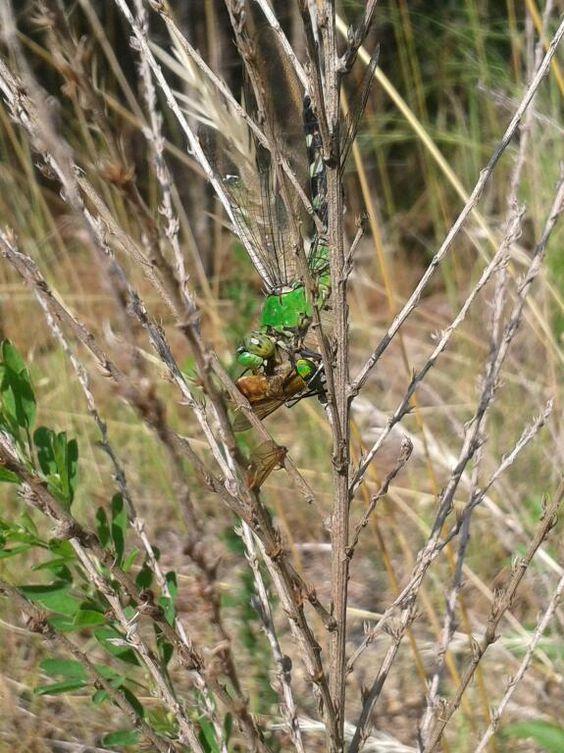Female Common Green Darner devouring a Green Horsefly