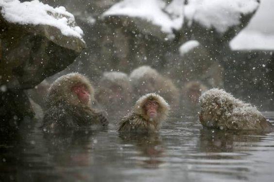 Il Parco delle scimmie di Jigokudani nella città di Yamanouchi nella Prefettura di Nagano